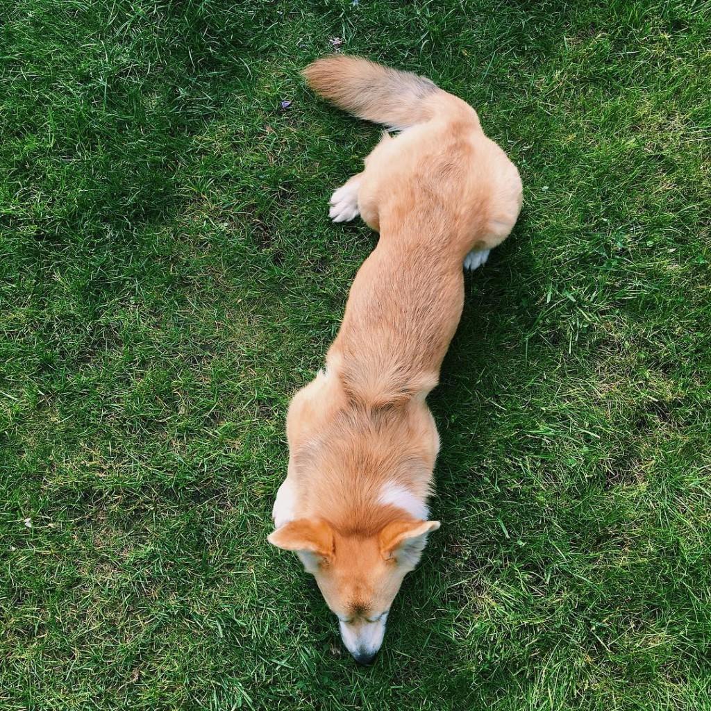 Le chien le plus long du monde ringocorgi